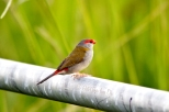 Pipe Perch for a Red Browed Finch
